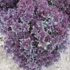 Ocimum basilicum Purple (1)